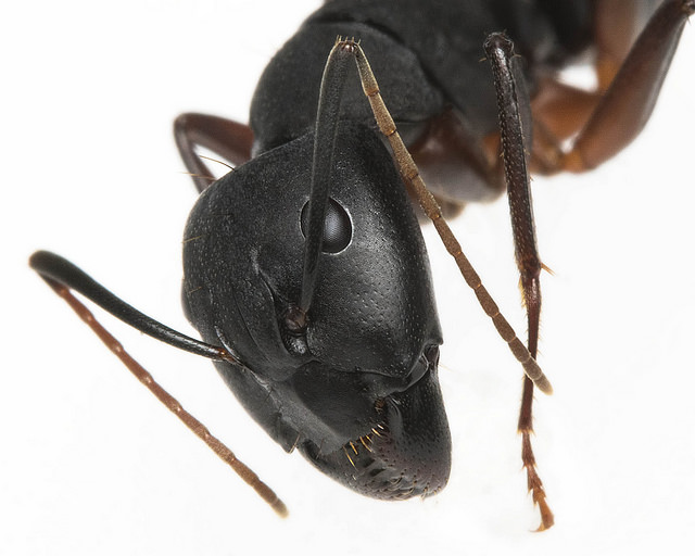 carpenter ant courtesy arian.suresh via flickr - https://flic.kr/p/F9xU9Z