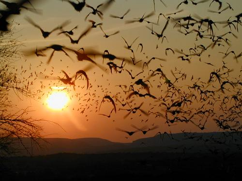 Mexican Freetail Bats. Flying off into the sunset. 2001-08