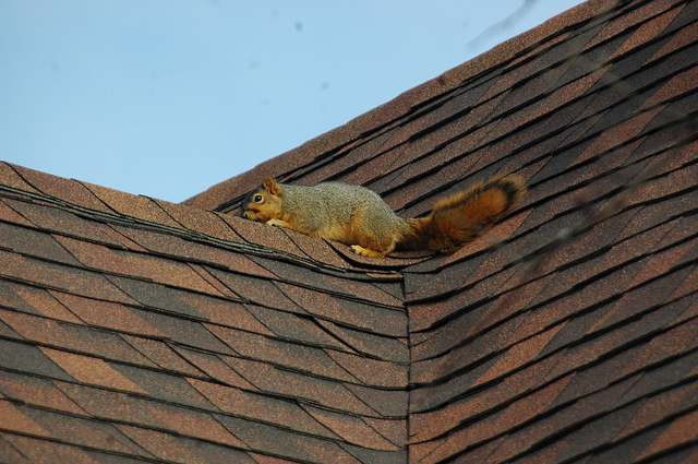 squirrel on the roof, courtesy of Steve Baker, https://flic.kr/p/dychuj